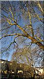 SX9164 : Tree, Upton Park by Derek Harper