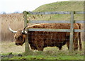 TR0164 : Highland bull at Oare by pam fray