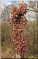 SX8866 : Ivy on post near Parson's Bridge by Derek Harper