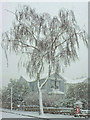 SX9065 : Birch in blizzard, Parkhurst Road, Torre : Week 12