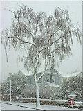 SX9065 : Birch in blizzard, Parkhurst Road, Torre by Derek Harper
