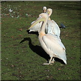 TQ2979 : Pelican, St James's Park by Rudi Winter