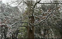 SX9065 : Beech in the snow, Chapel Hill Pleasure Grounds by Derek Harper