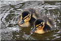 SS9812 : Mid Devon : Grand Western Canal - Ducklings : Week 12