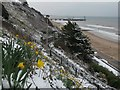SZ0890 : Bournemouth: daffodils on the West Cliff by Chris Downer