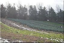 SX9788 : Leeks in a field by N Chadwick