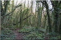 SX9267 : Woodland, Watcombe by N Chadwick