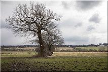 TQ3097 : Oak Tree in Field from Williams Wood, Trent Park by Christine Matthews