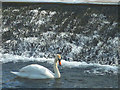SD4881 : A swan at the weir on the Bela (2) by Karl and Ali