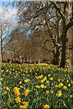 TQ2979 : Daffodil's, St James' Park by Oast House Archive