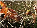 SX8966 : Oak leaves and oak apples, Wren Park by Derek Harper