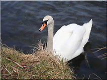 J3731 : Mute swan on the Shimna by Eric Jones