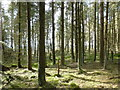 NS8647 : Wall of trees, Cartland Muir Plantation : Week 13
