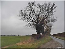 TL9891 : Tree on Church Road, Shropham by David Howard