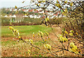 SX9066 : Catkins, Nightingale Park by Derek Harper