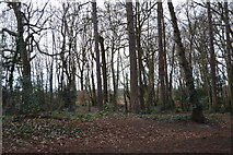 TQ2363 : Woodland, Nonsuch Park by N Chadwick