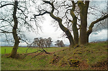 NH5857 : Trees at the edge of Drummondreach Oak Wood by Julian Paren