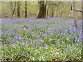 SO9194 : April 2018 Bluebells by Gordon Griffiths