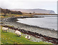 NM5237 : Sheep at shore of Loch na Keal by Trevor Littlewood