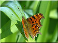 ST2885 : Comma butterfly (2), Tredegar House gardens, Newport : Week 16