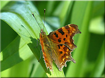 ST2885 : Comma butterfly (2), Tredegar House gardens, Newport by Robin Drayton