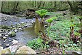 SH5573 : Gunnera beside the Afon Cadnant by Richard Hoare