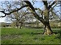 TQ2251 : Old oaks along a former field boundary by Stefan Czapski
