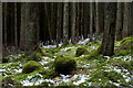 SN9063 : Moss and clearing snow, Llanerchi Wood forest floor by Andrew Hill