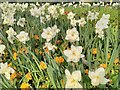 SO7845 : Daffodils in Barnard's Green by Philip Halling