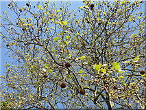 TQ4077 : Plane fruits by Stephen Craven
