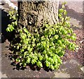 TG2108 : Young shoots at the foot of a lime tree (Tilia × europaea) by Evelyn Simak