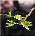 TG2108 : Sweet gum tree (Liquidambar styracifolia) - young leaves : Week 18