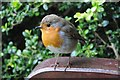 SO8932 : Robin on a bench by Philip Halling