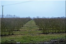 TR2257 : Orchard in winter by N Chadwick