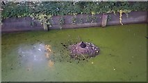 TQ3296 : Coot on Nest in Enfield by Christine Matthews