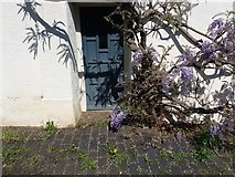 ST0106 : Cullompton: door and wisteria by Martin Bodman