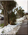 SX8965 : Torbay palms in the snow, Shiphay Avenue by Derek Harper