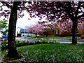 H4572 : Fallen cherry tree blossoms, Omagh by Kenneth  Allen