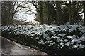 SX8964 : Thawing snow on a bank, Cockington Lane by Derek Harper