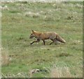 NY8398 : Fox at Dykehead  by Russel Wills