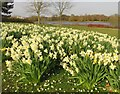 SP8835 : Daffodils by Caldecotte Lake by Steve Daniels