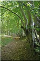 TL6101 : Boundary Ditch and Hornbeam Pollards by Glyn Baker