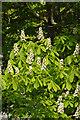 SH5169 : Horse chestnut - Plas Newydd by Stephen McKay