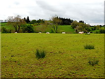H5064 : Sheep in a field, Moylagh by Kenneth  Allen