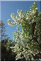 SS9700 : Blossom, car park, Killerton by Derek Harper