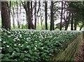 SE8165 : Wild  Garlic  in  Bath  Plantation  Birdsall by Martin Dawes