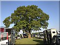 SJ8065 : Oak in lorry park at Somerford Park Farm by Jonathan Hutchins