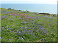 TQ8611 : Bluebells at Hastings Country Park by Marathon