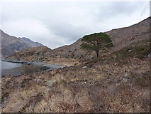 NG8806 : Lochside Scots Pine tree by Richard Law