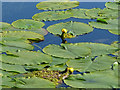 SE2641 : Water lilies, Paul's Pond, Breary Marsh SSSI by Stephen Craven